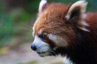 3T9P8638_-_Red_Panda.jpg