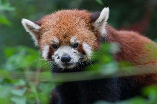 3T9P8656_-_Red_Panda.jpg