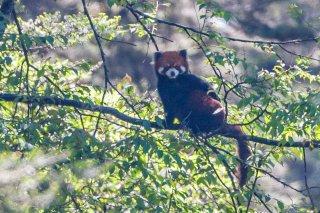 3T9P9389_-_Red_Panda1.jpg
