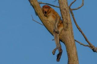 C16V6123_-_Proboscis_Monkey-h.jpg