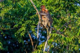 C16V6138_-_Proboscis_Monkey-h.jpg