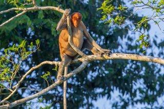 C16V6140_-_Proboscis_Monkey-h.jpg