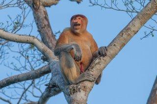 C16V6152_-_Proboscis_Monkey.jpg