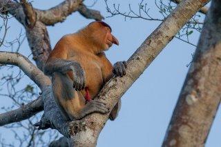 C16V6167_-_Proboscis_Monkey.jpg