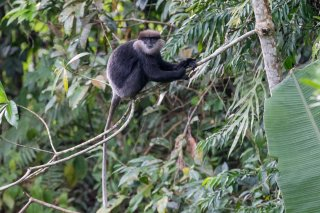 C16V5010_-_Purple-faced_Leaf_Monkey.jpg