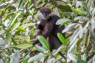 C16V5022_-_Purple-faced_Leaf_Monkey.jpg