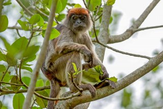 IMG_1048_-_Central_Africa_Red_Colobus.jpg