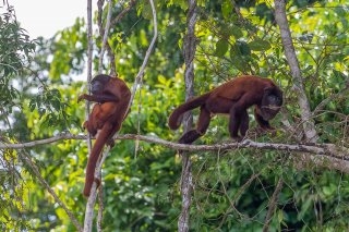 785A5365_-_Red_Howler_Monkey.jpg