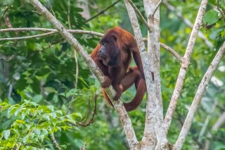 785A7302_-_Red_Howler_Monkey.jpg