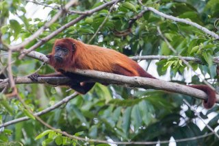 C16V3785_-_Red_Howler_Monkey.jpg