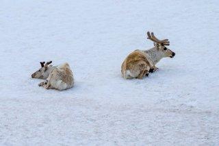 IMG_2502_-_Reindeer.jpg