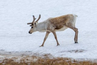 IMG_2504_-_Reindeer.jpg