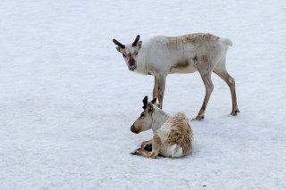 IMG_2508_-_Reindeer.jpg