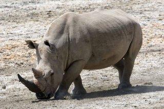 3T9P6621_-_White_Rhinoceros.jpg