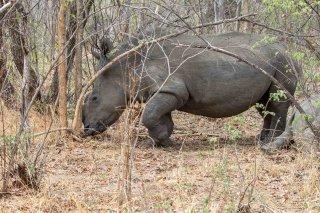 C16V4512_-_White_Rhinoceros.jpg