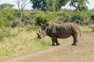 C16V5365_-_White_Rhinoceros.jpg