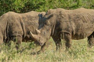 C16V5375_-_White_Rhinoceros.jpg