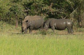 C16V5402_-_White_Rhinoceros.jpg