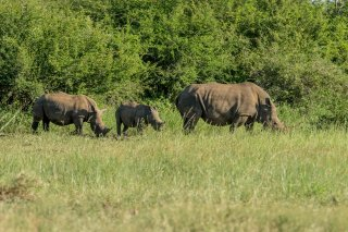 C16V5412_-_White_Rhinoceros.jpg