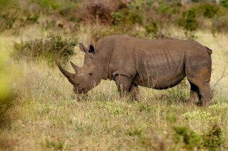 C16V6611_-_White_Rhinoceros.jpg