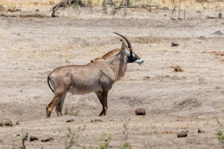 2M3A6833_-_Roan_Antelope.jpg