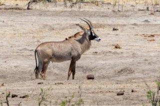 2M3A6841_-_Roan_Antelope.jpg