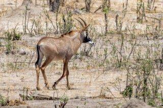 2M3A6845_-_Roan_Antelope.jpg