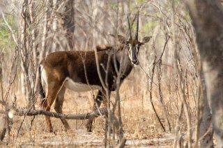 2M3A6258_-_Sabel_Antelope.jpg