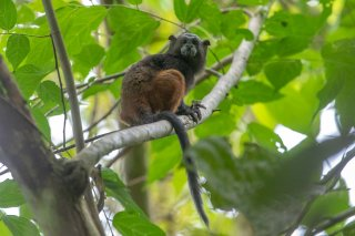 785A6076_-_Saddle-back_Tamarin_Monkey.jpg