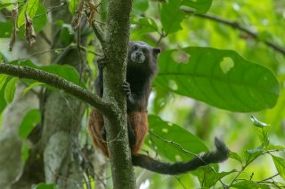 785A6120_-_Saddle-back_Tamarin_Monkey.jpg