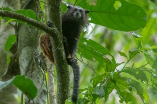 785A6125_-_Saddle-back_Tamarin_Monkey.jpg