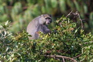 C16V9016_-_Samango_Monkey.jpg