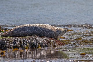 IMG_2866_-_Harbor_Seal.jpg