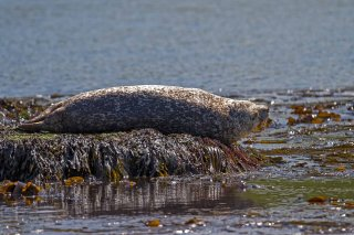 IMG_2867_-_Harbor_Seal.jpg