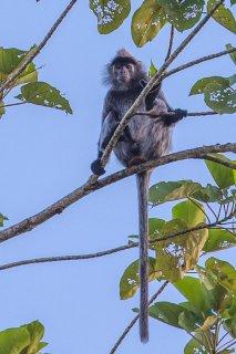 C16V6917_-_Silvered_Leaf_Monkey.jpg
