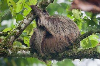 3T9P6368_-_Brown-throated_three-toed_Sloth.jpg