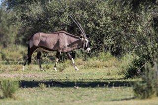 C16V9683_-_South_African_Oryx.jpg