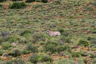 IMG_8012_-_South_African_Oryx.jpg