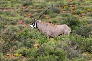 IMG_8013_-_South_African_Oryx.jpg