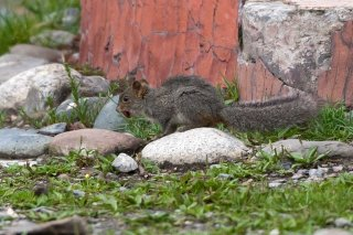 3T9P0069_-_Asian_Red-cheeked_Squirrel.jpg