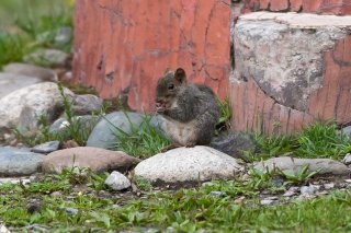 3T9P0071_-_Asian_Red-cheeked_Squirrel.jpg