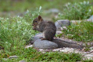 3T9P0073_-_Asian_Red-cheeked_Squirrel.jpg