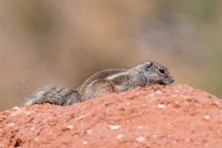 2M3A0466_-_Barbary_Ground_Squirrel.jpg