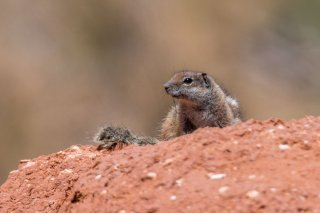 2M3A0485_-_Barbary_Ground_Squirrel.jpg
