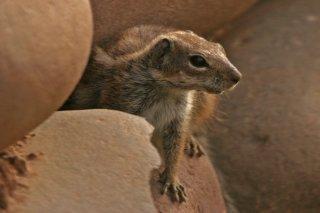 IMG_0242_-_Barbary_Ground_Squirrel.jpg