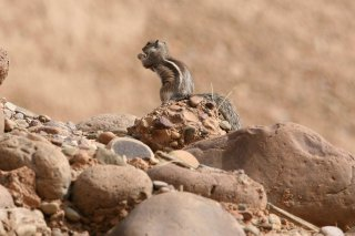 IMG_2092_-_Barbary_Ground_Squirrel.jpg