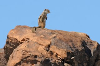 IMG_8367_-_Barbary_Ground_Squirrel.jpg