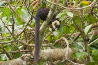IMG_2511_-_Black_Giant_Squirrel.jpg