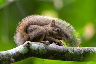 3T9P9127_-_Brazilian_Squirrel.jpg