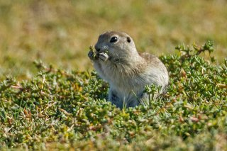 IMG_7446_-_European_Ground_Squirrel.jpg